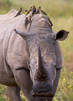 White Rhino (Ceratotherium simum) with Red-billed oxpeckers